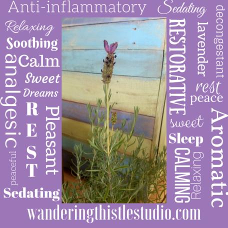 Lavender Wandering Thistle Studio
